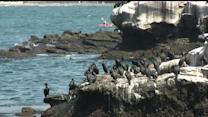 Cleanup Of Bird Poop At La Jolla Cove To Begin