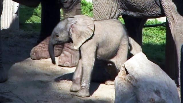 First elephant was born conceived from frozen sperm