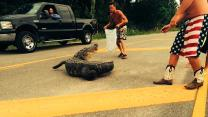 Alligator Attack: Attempt To Move Alligator Backfires