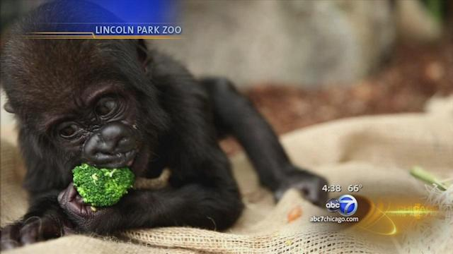 Baby gorilla recovering from facial injury