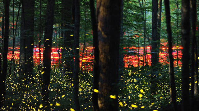 Synchronized Firefly Ritual Attracts Tourists