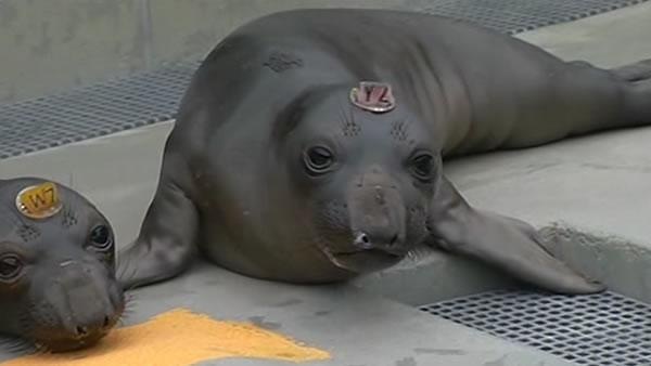 Animal group warns beachgoers to give young seals space