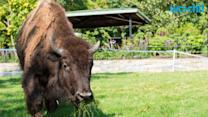Bison Seriously Injures Second Yellowstone Tourist Within a Month