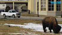 Yellowstone Rangers Tell Tourists: If You Mess With the Bison, You Get the Horns