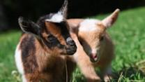 Newborn Goats Learn to Play
