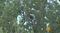 Nature: Bald eagles