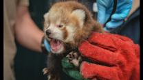 Red panda cubs born at Chester Zoo