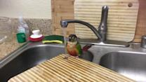 Parrot Takes a Shower
