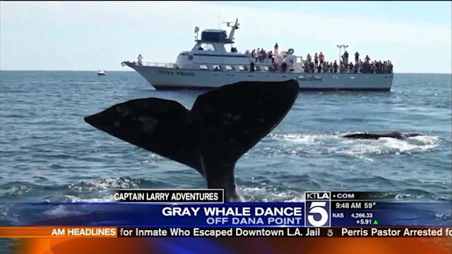 Amazing Video of Gray Whale Sighting in Dana Point