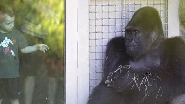 Anti-social zoo gorilla is going to therapy