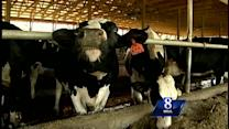 Dairy farmer works to keep cows cool