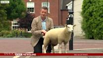 BBC reporter gets peed on by sheep live on TV