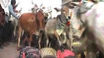 People Trampled By Cow Stampede
