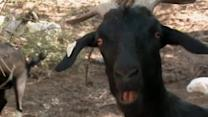 Grazing goats best new defense against wildfires