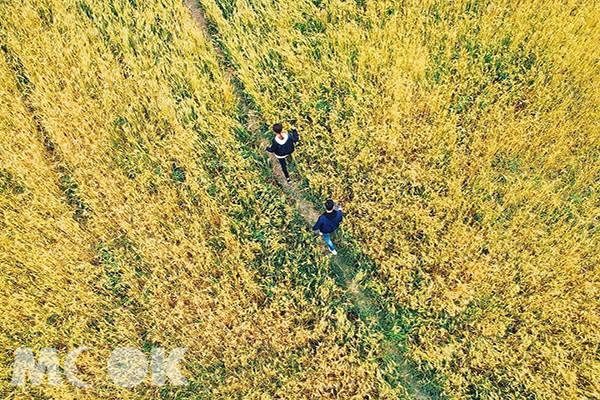 漫步在金黃的稻田中,彷彿置身在浪漫的偶像劇場景 (圖片提供/sunny__roger)