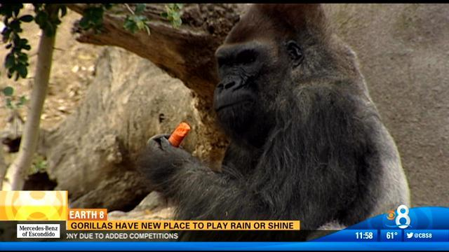 Gorillas have new place to play, rain or shine