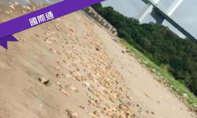 廣東爆疫!沙灘驚見上萬隻豬腳
