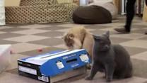 Prankster Cat Traps Friend In Box