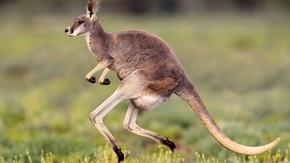 Kangaroo Decides He'll Get There Faster By Just Running