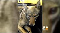 Police Capture Coyote In Lower Manhattan