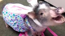Costume-wearing mini pig shows off guitar skills