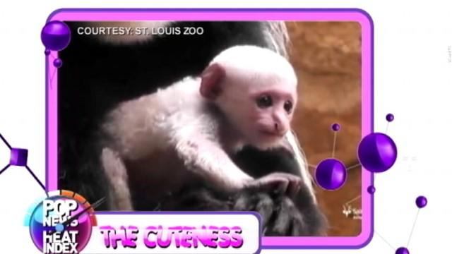 Baby Colobus Monkey at St. Louis Zoo