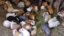 Embarrassed Woman Has 100 Guinea Pigs