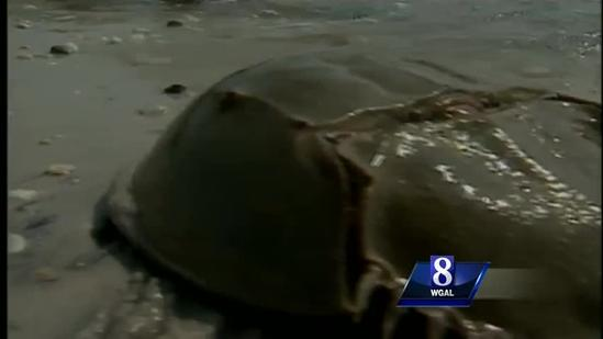 Are horseshoe crabs dangerous?