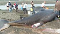 30-Foot-Long Shark Washes Ashore in Maine