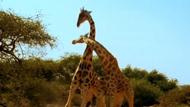 Most Violent Giraffe Fight Ever Filmed Goes Viral