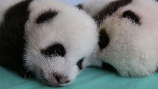 Cute Alert! Twin Panda Cubs Get a Check Up