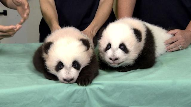 Twin Panda Cubs Named at Zoo Atlanta's 100-Day Celebration