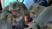 Monkeys in Thailand feast on a five-star banquet