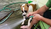 Dog loves drinking water from the hose