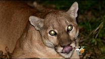 National Park Service Identifies New Adult Male Cougar In Town