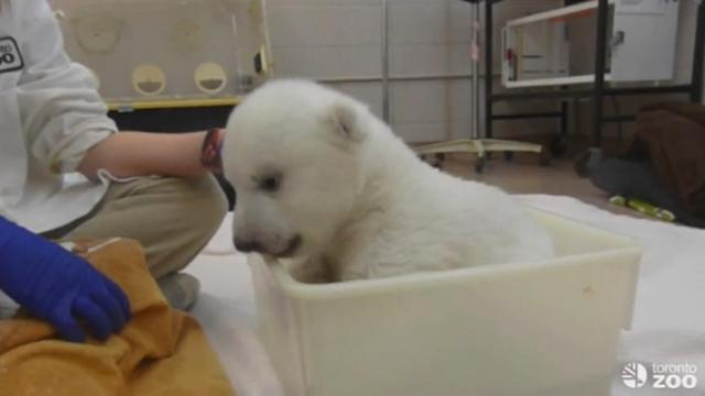 Polar Bear Cub Takes His First Bath