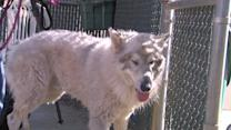Giant Mystery Dog Winds Up In Shelter