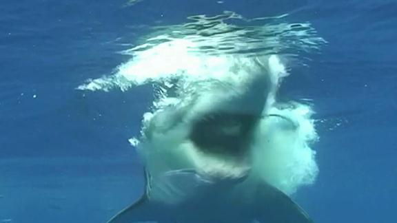 Great White Snaps Cage in Half