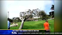Two Torrey pines removed from Del Mar park