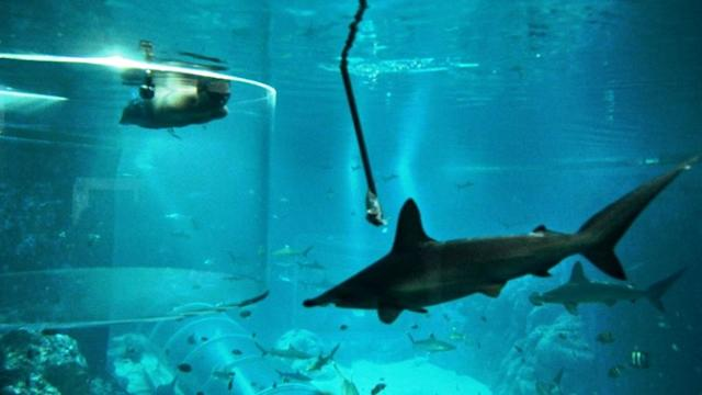 Nick Vujicic swims with sharks in Sentosa