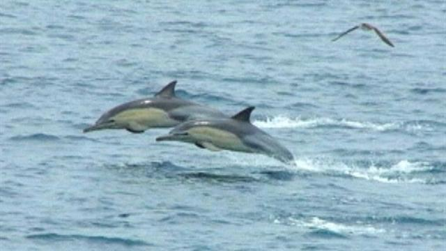 Hundreds of dolphins flee killer whales off Japanese coast