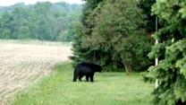 Large Black Bear On The Move In Southeastern Wisconsin