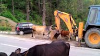Wild bull fight captured in middle of busy road