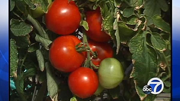 Calif. considers labeling requirement for GMO food