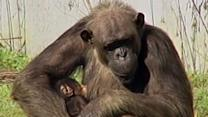 Great Apes Also Get the Mid-Life Crisis