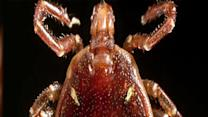 Texas Tick Can Turn Carnivores Into Vegetarians