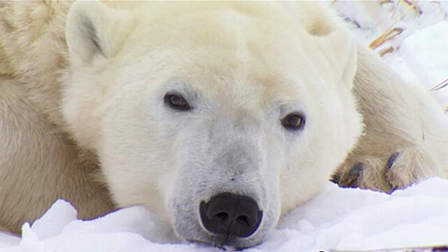 'Ice Bear' Sets Out on His Own