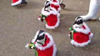 6 'Santa Penguins' Take a Walk Just in Time for Christmas