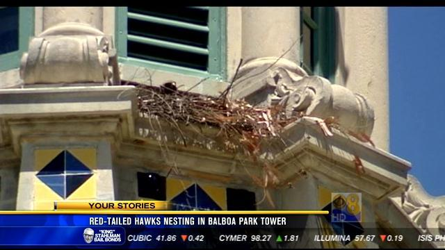 Red-tailed hawks nesting in Balboa Park tower