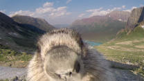 Affectionate Marmot Interrupts Time-Lapse Video #AccidentalAnimals